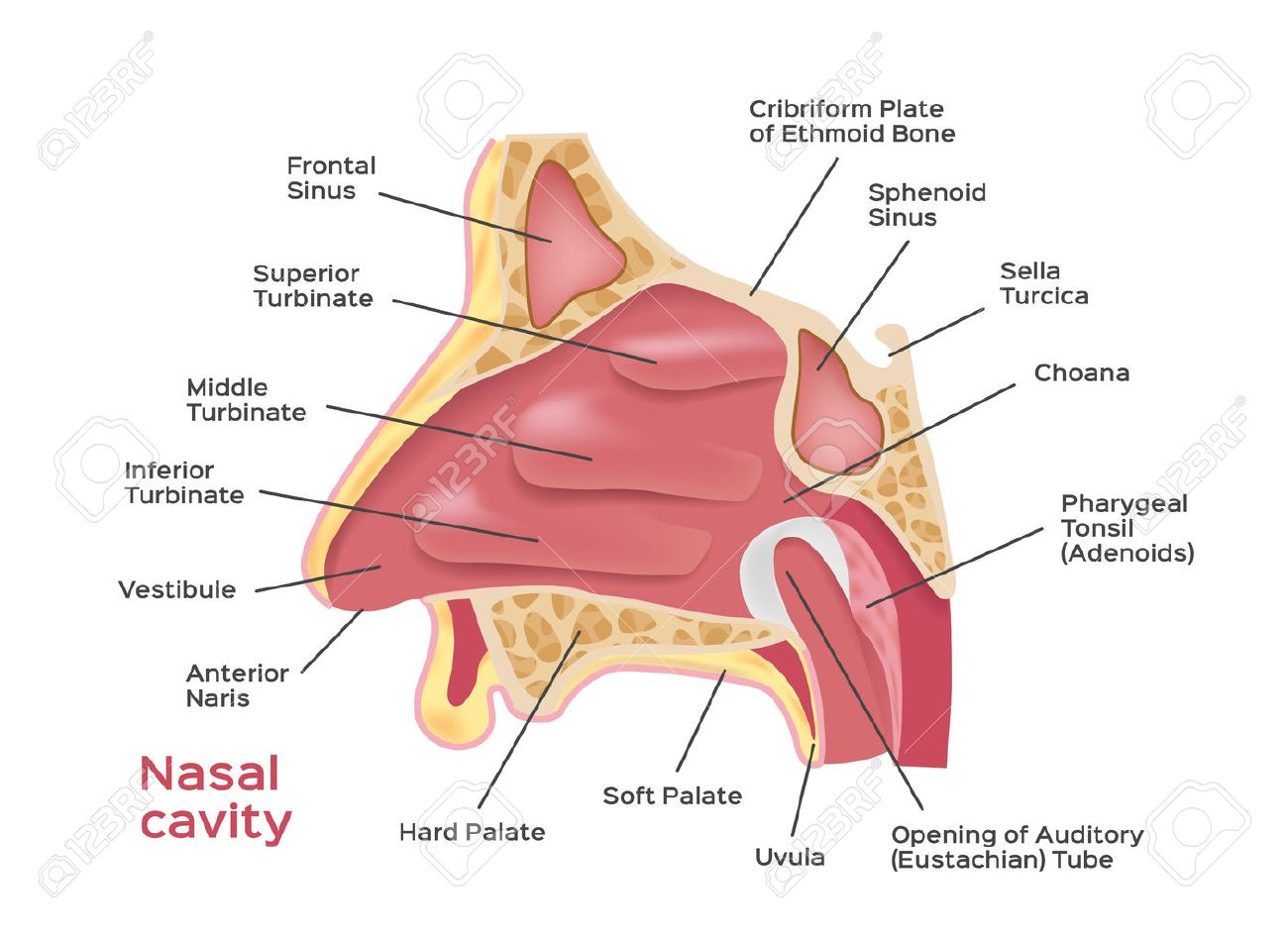 diagram of a bone inside 2000 jeep grand cherokee infinity radio wiring nasal cavity vector illustration human nose stock