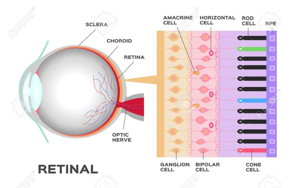 medium resolution of eye infographic photoreceptor in the retina of the eye structure and function rod and