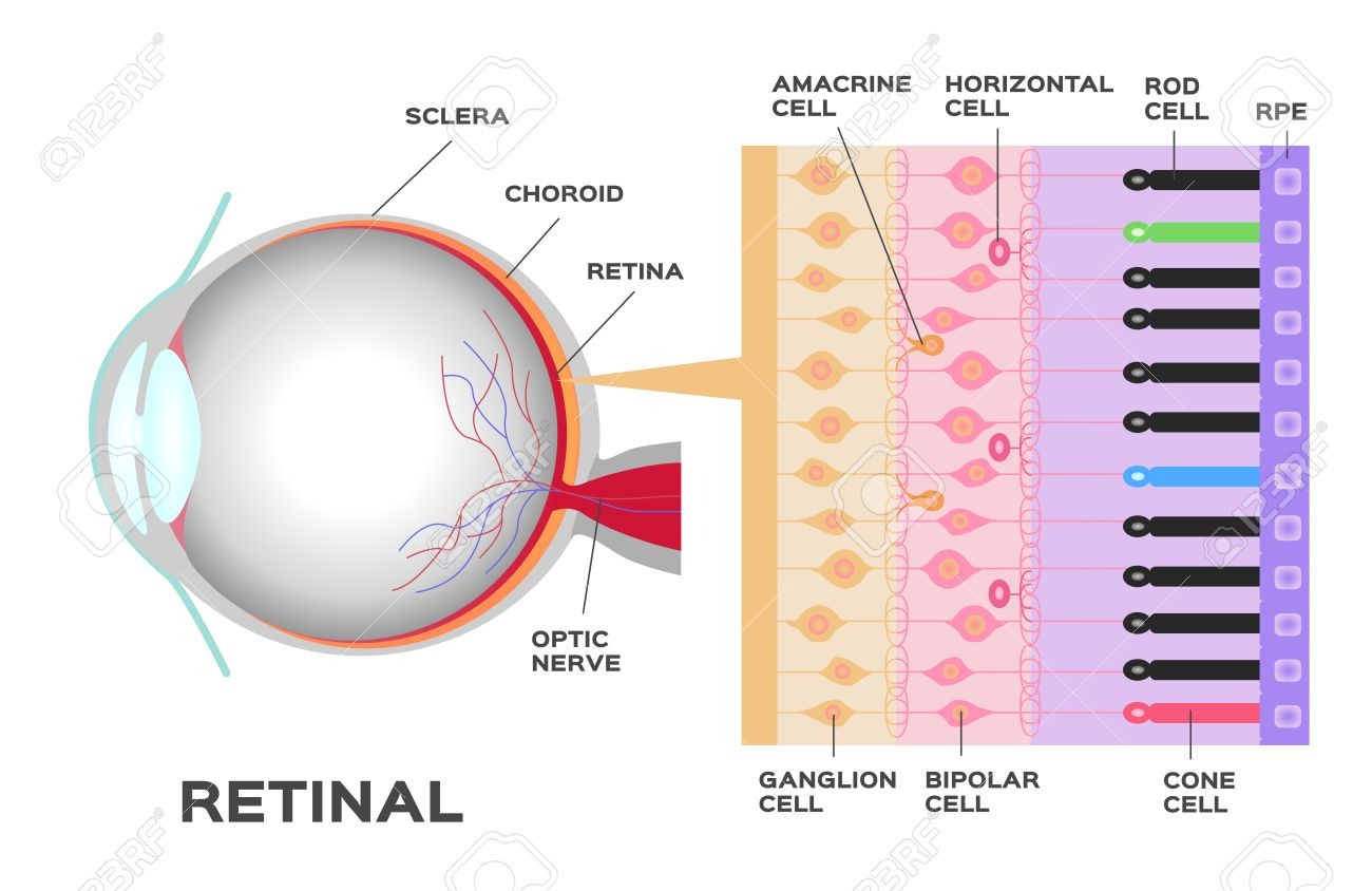 hight resolution of eye infographic photoreceptor in the retina of the eye structure and function rod and