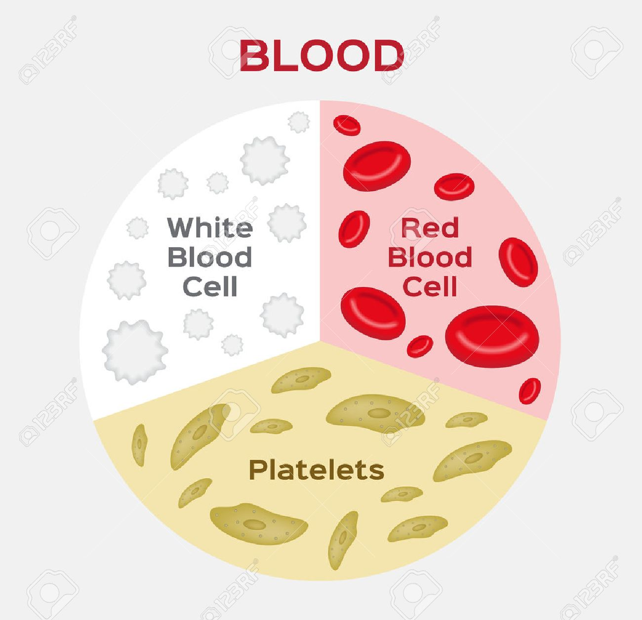 hight resolution of composition of blood diagram red and white blood cell vector anatomy stock vector