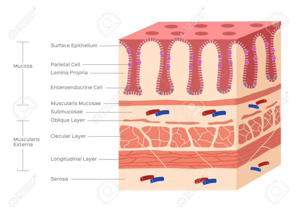 medium resolution of stomach and small intestine lining villi and gut stock vector 102500904