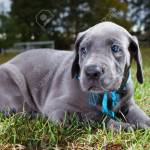 Great Dane Puppy On The Grass That Has A Blue Collar And Matching Stock Photo Picture And Royalty Free Image Image 29805175