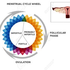 Menstrual Cycle Diagram With Ovulation Bpt Door Entry Handset Wiring Calendar Detailed Of Female Period Illustrated Reproductive Organs Stock Vector