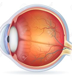 human eye anatomy diagram medical illustration isolated on a white bacground stock vector [ 1300 x 1126 Pixel ]