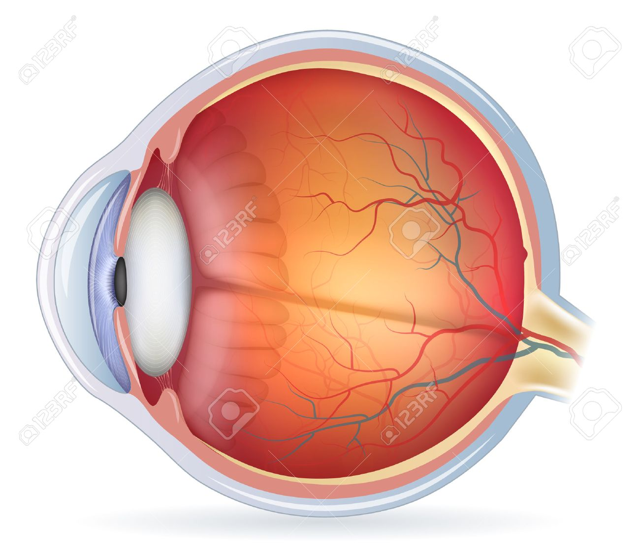 hight resolution of human eye anatomy diagram medical illustration isolated on a white bacground stock vector