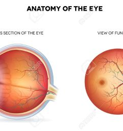 anatomy of the eye cross section and view of fundus royalty free diagram of pylorus diagram of fundus [ 1300 x 920 Pixel ]