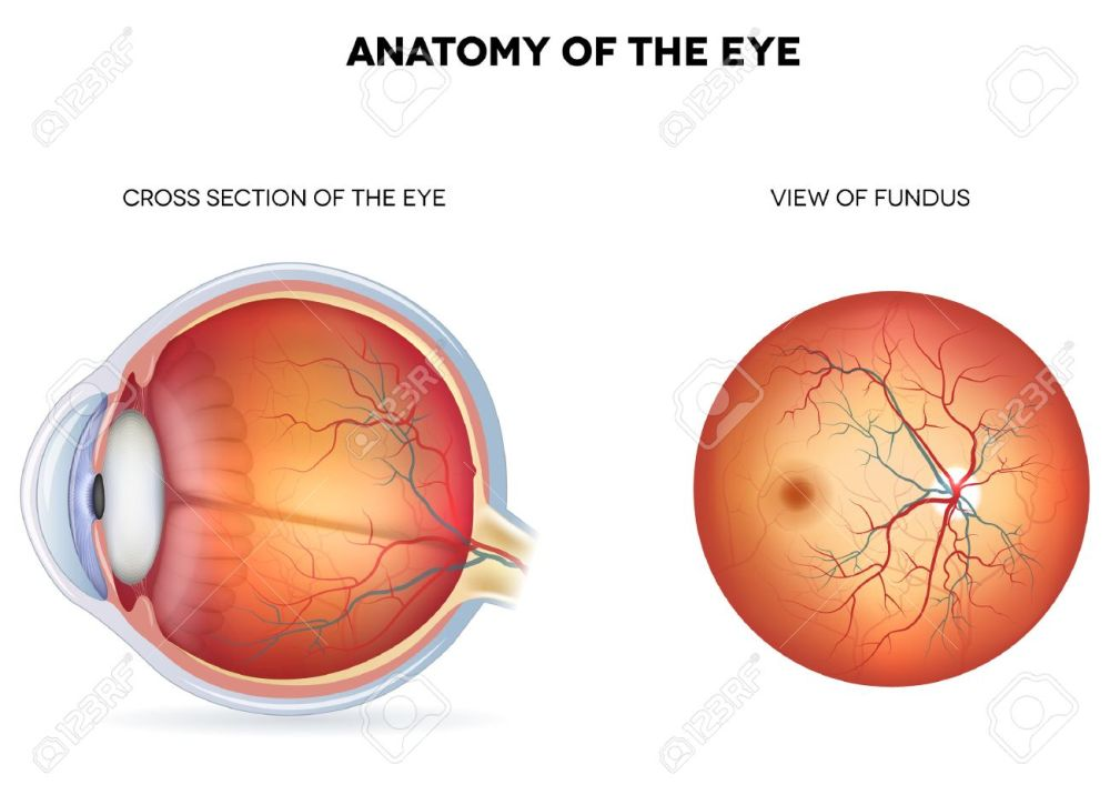 medium resolution of anatomy of the eye cross section and view of fundus royalty free diagram of pylorus diagram of fundus