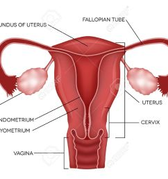 uterus and ovaries organs of female reproductive system stock vector 26880160 [ 1300 x 966 Pixel ]