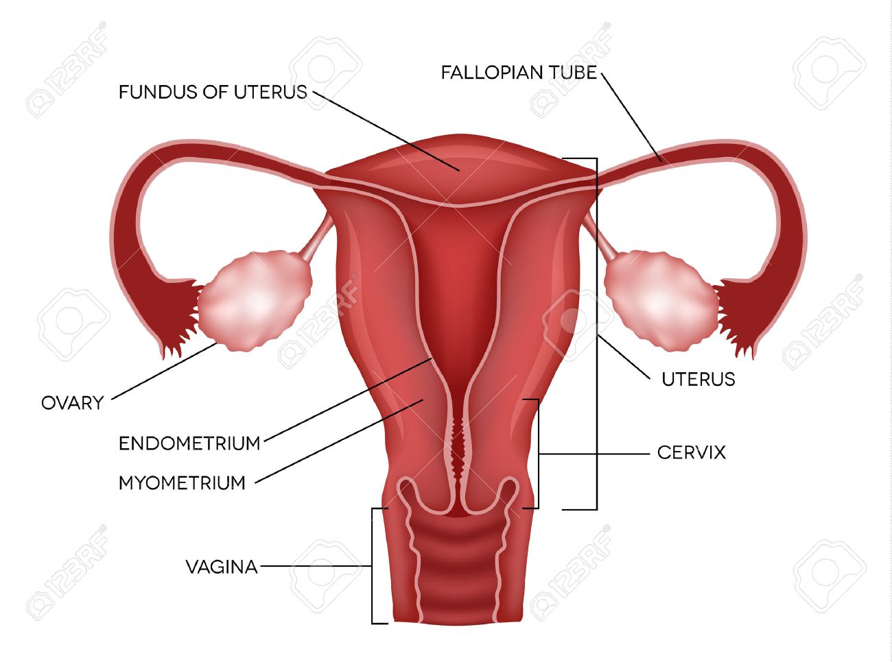 hight resolution of uterus and ovaries organs of female reproductive system stock vector 26880160