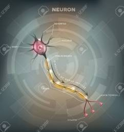 labeled diagram of the neuron nerve cell that is the main part of the nervous [ 1300 x 1258 Pixel ]