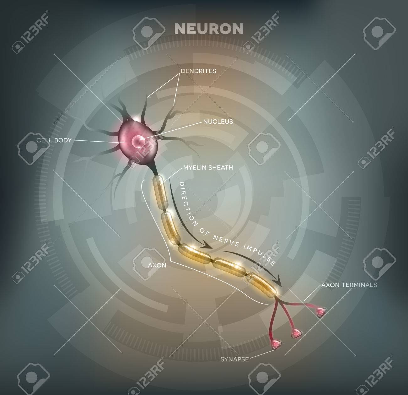 hight resolution of labeled diagram of the neuron nerve cell that is the main part of the nervous