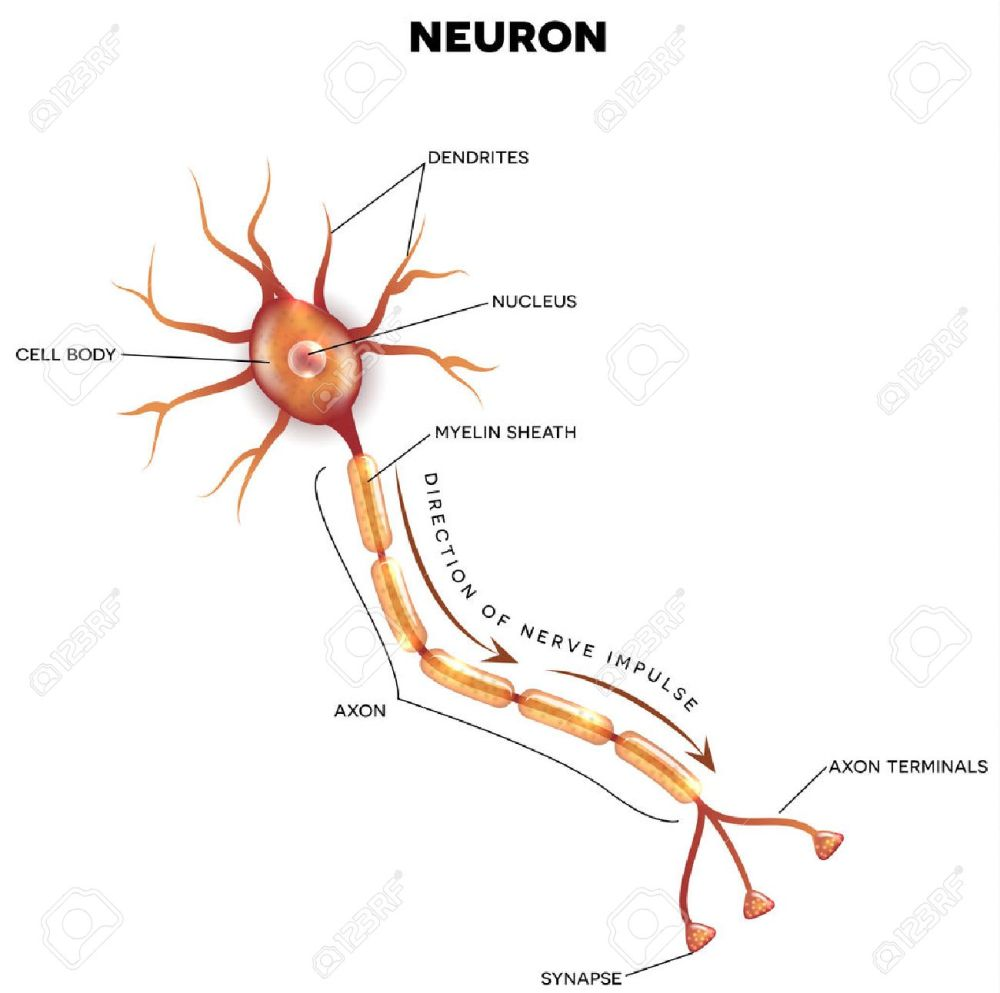 medium resolution of labeled diagram of the neuron nerve cell that is the main part of the nervous