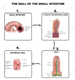 small intestine wall anatomy a fold of the intestinal lining villi and epithelial cell [ 1296 x 1300 Pixel ]