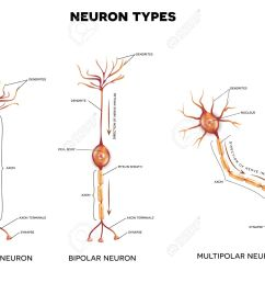 neuron types nerve cells that is the main part of the nervous system stock [ 1300 x 1001 Pixel ]