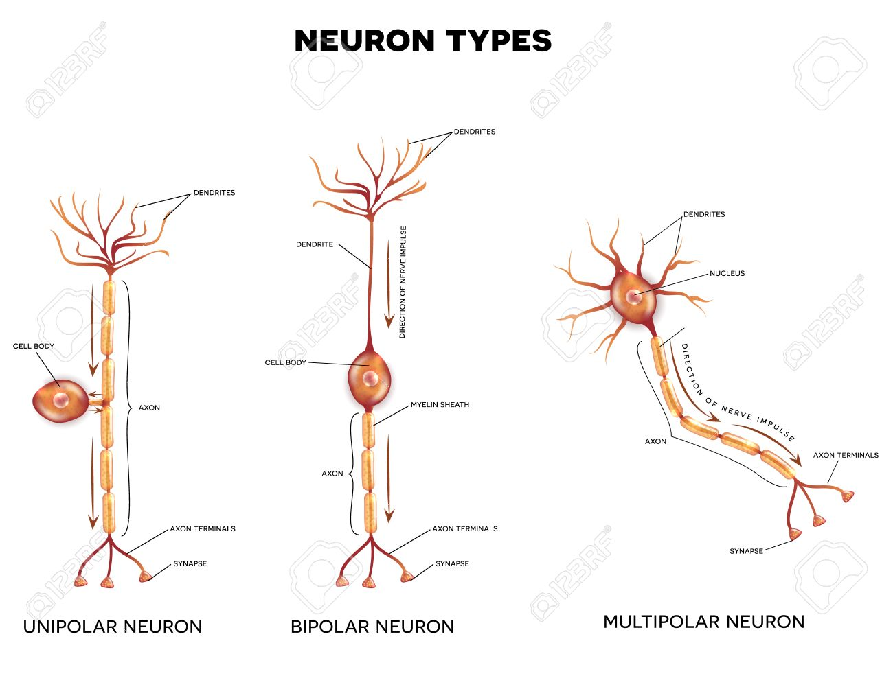 hight resolution of neuron types nerve cells that is the main part of the nervous system stock