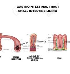 gastrointestinal system small intestine detailed wall anatomy small intestine villi and epithelial cell with microvilli [ 1300 x 758 Pixel ]