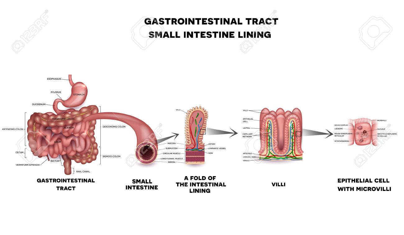 hight resolution of gastrointestinal system small intestine detailed wall anatomy small intestine villi and epithelial cell with microvilli