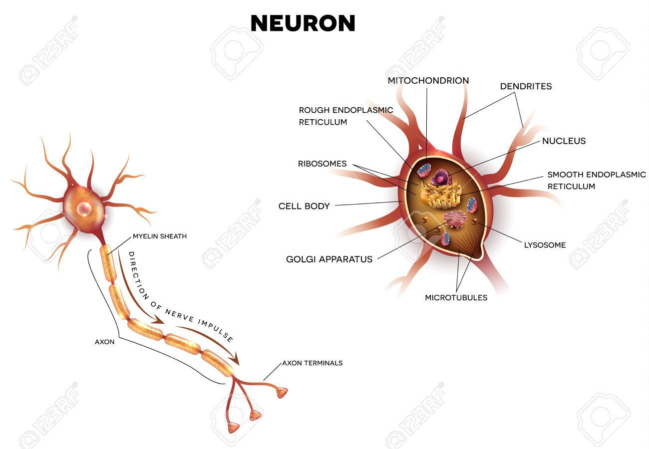 hight resolution of neuron nerve cell that is the main part of the nervous system close up