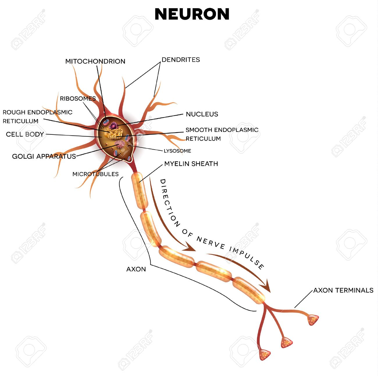 hight resolution of neuron nerve cell that is the main part of the nervous system cross section