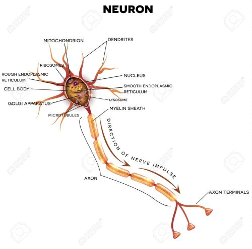 small resolution of neuron nerve cell that is the main part of the nervous system cross section