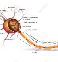 neuron nerve cell that is the main part of the nervous system cross section [ 1300 x 803 Pixel ]
