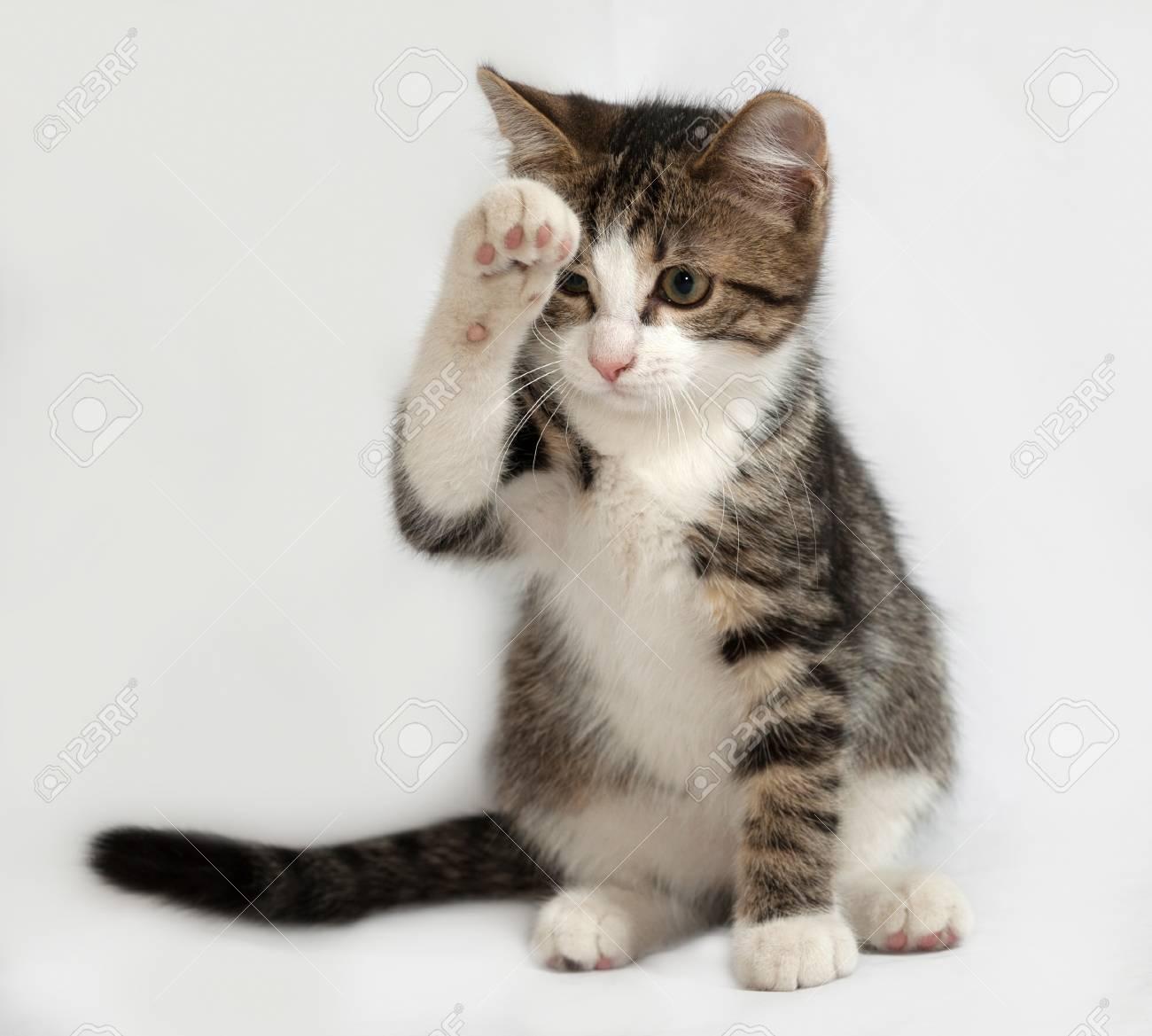 raye et chaton blanc assis sur fond gris banque d images et photos libres de droits image 41621578