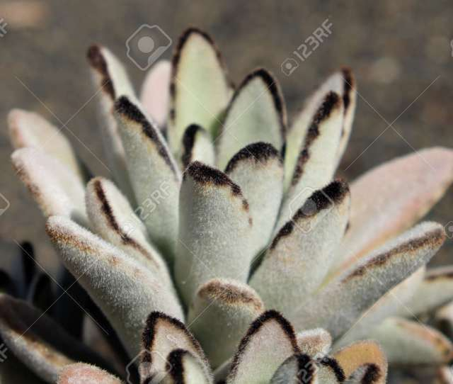 Panda Plant Pussy Ears Succulent Plant Stock Photo