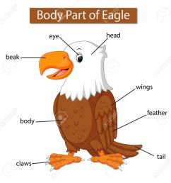 diagram showing body part of eagle stock vector 121073497 [ 1300 x 1300 Pixel ]