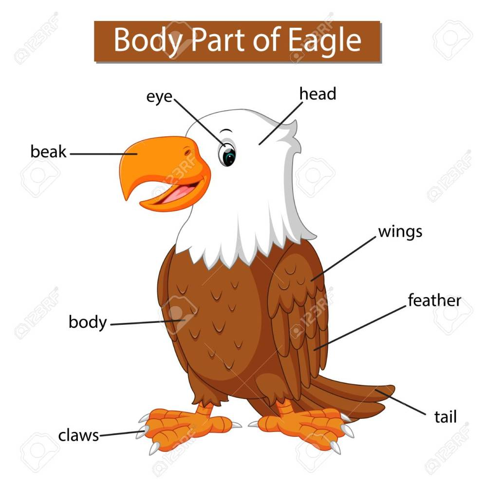medium resolution of diagram showing body part of eagle stock vector 121073497