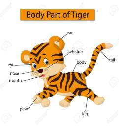 diagram showing body part of tiger stock photo 121266441 [ 1300 x 1300 Pixel ]