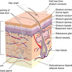 Skin Cross Section Diagram Ls3 Ecu Wiring Cell All Data Of Showing Hair Follicle Royalty Free Cliparts Blank For Labeling