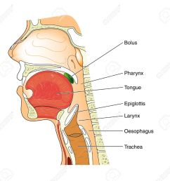 diagram of the swallowing mechanism royalty free cliparts vectors throat anatomy diagram diagram of the [ 1300 x 1242 Pixel ]