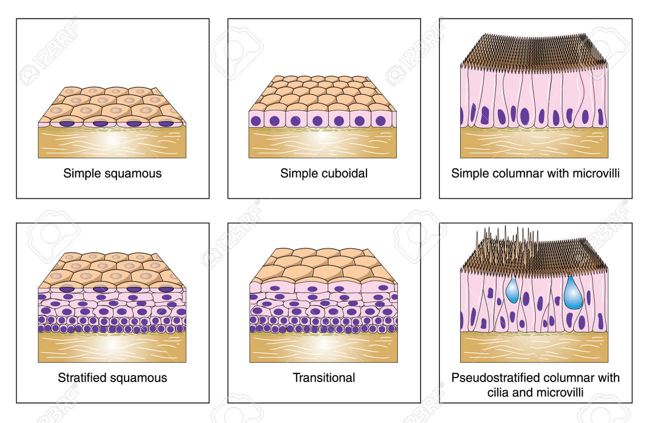 stratified columnar epithelium diagram 7 blade rv plug wiring to show the various kinds of simple squamous