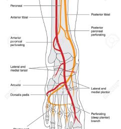 drawing of the lower leg including the ankle and foot bones showing the arterial blood [ 905 x 1300 Pixel ]
