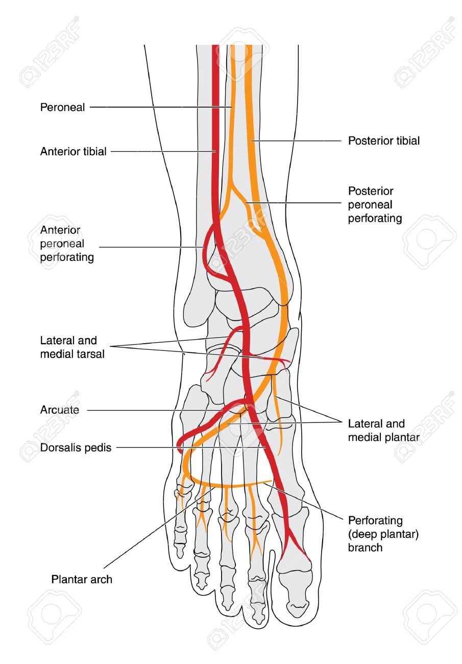 hight resolution of drawing of the lower leg including the ankle and foot bones showing the arterial blood