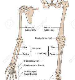 bones of the arm hand leg and foot [ 835 x 1300 Pixel ]