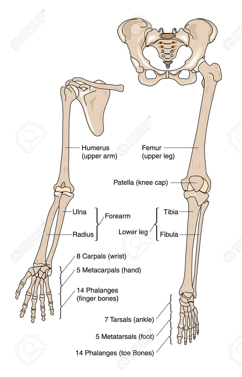 medium resolution of bones of the arm hand leg and foot stock vector 28500045