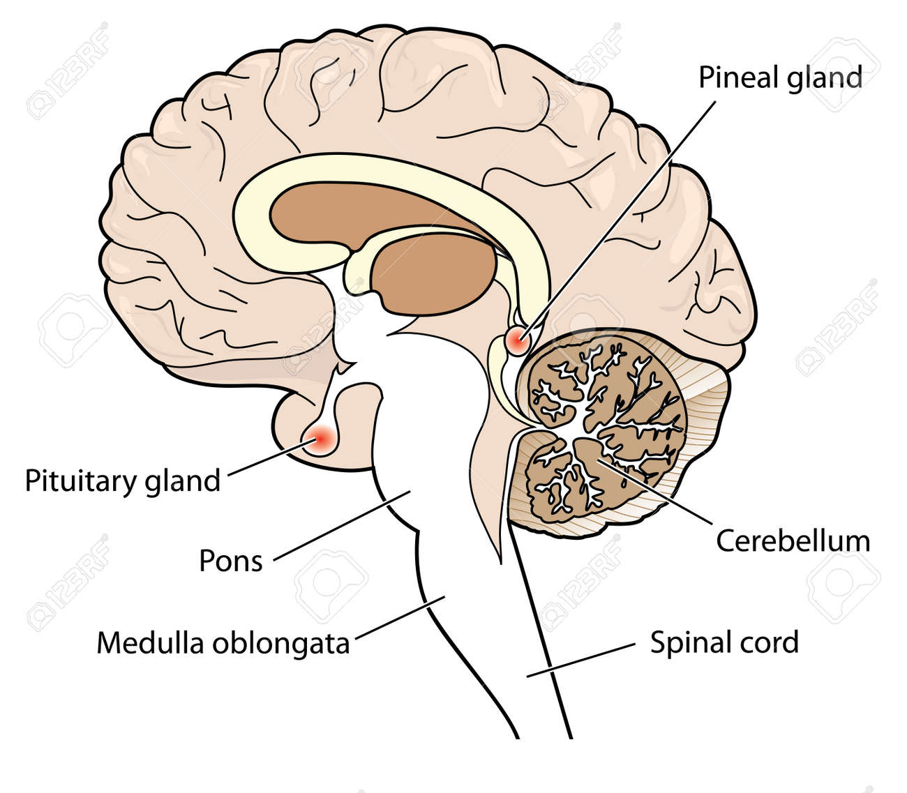 hight resolution of cross section of brain showing the pituitary and pineal glands cerebellum and brainstem stock