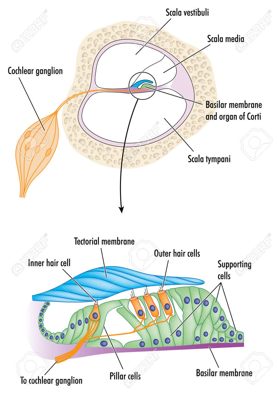 hight resolution of cross section through the cochlea of the ear with detail of the organ of corti