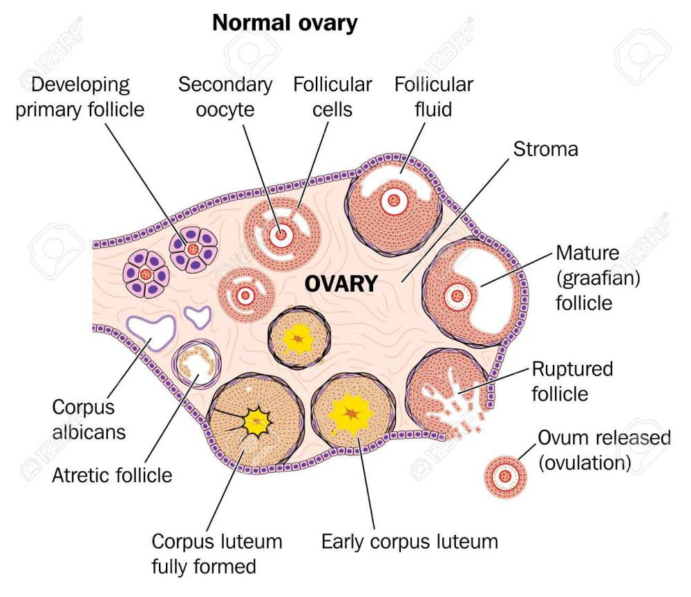 medium resolution of cross section through a normal ovary showing developing follicles and ovum release stock vector 78261539