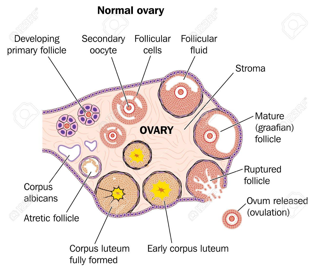 hight resolution of cross section through a normal ovary showing developing follicles and ovum release stock vector 78261539