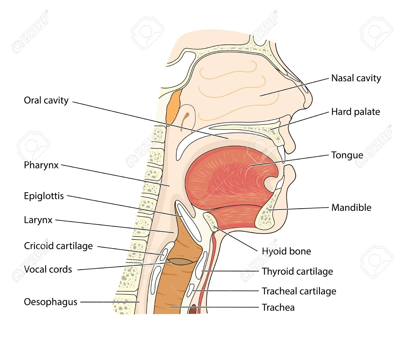 hight resolution of cross section through the head showing the nasopharynx oropharynx and larynx stock vector 93240802
