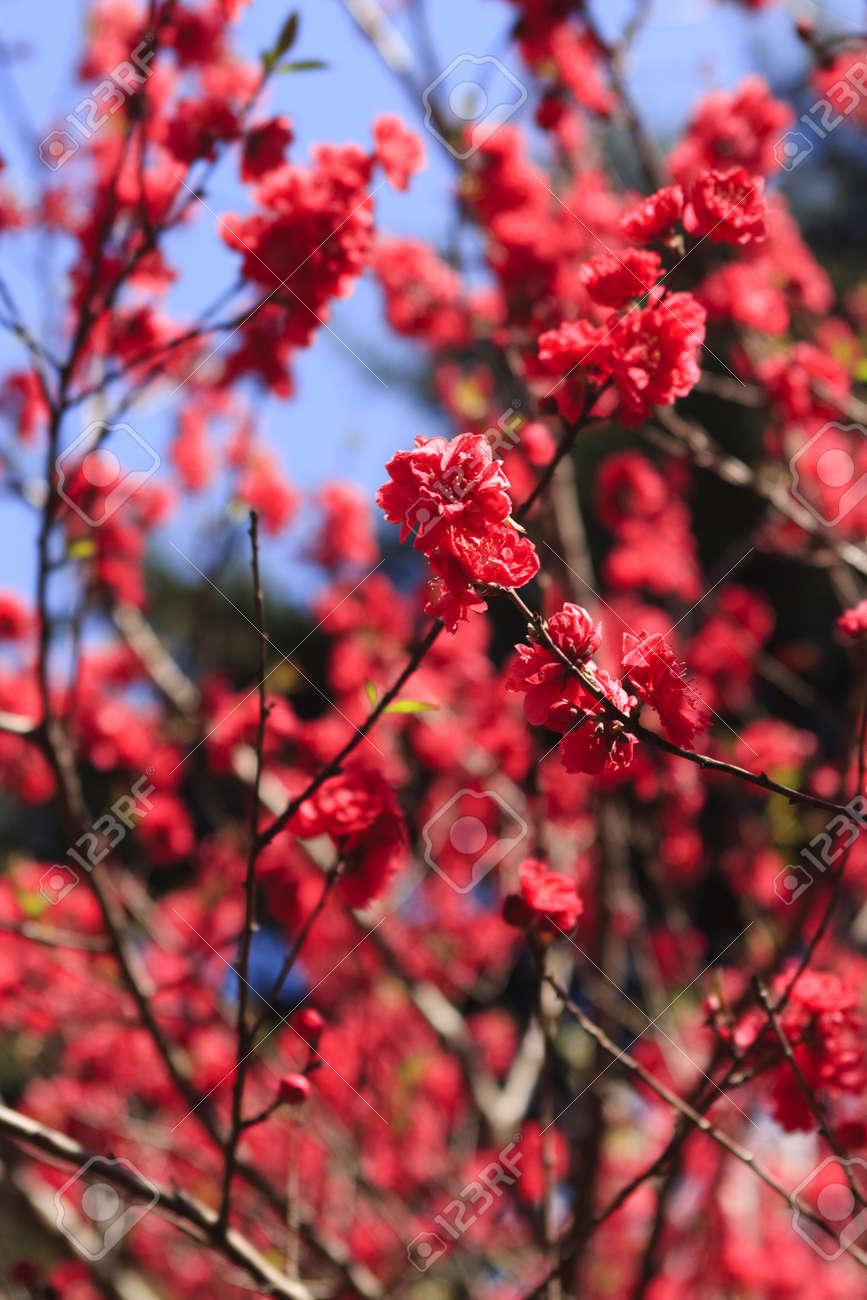 bright red cherry blossom