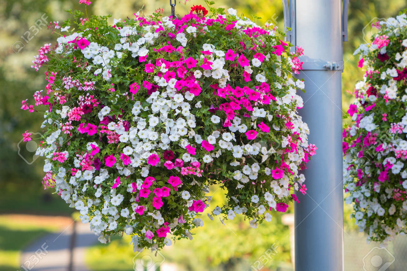 Large And Beautiful Hanging Basket Pots With Blooming Vibrant Pink And White Petunia Surfinia And