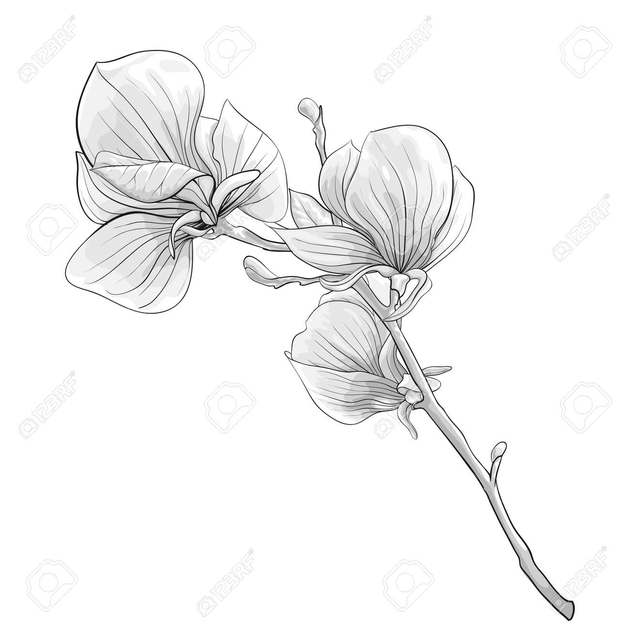 hight resolution of beautiful monochrome black and white twig blossoming magnolia tree flower isolated hand