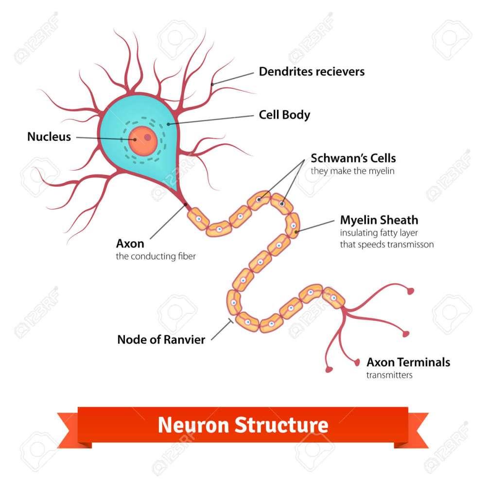 medium resolution of brain neuron cell diagram vector colorful illustration stock vector 49850027