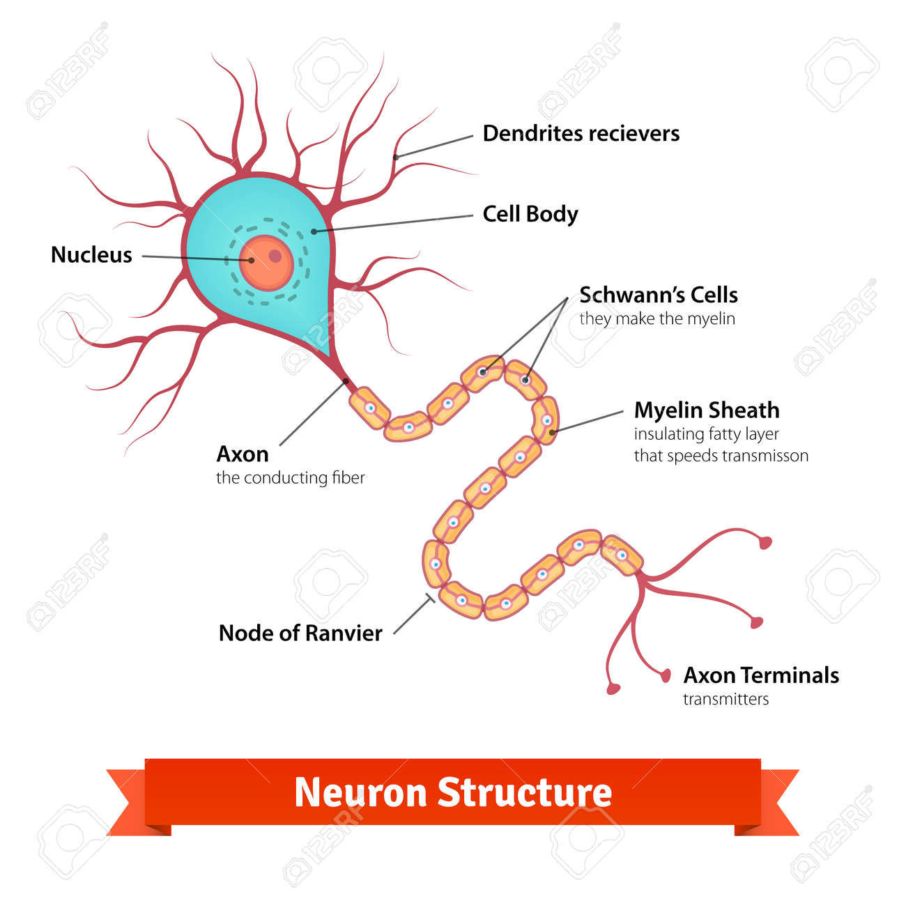 hight resolution of brain neuron cell diagram vector colorful illustration stock vector 49850027