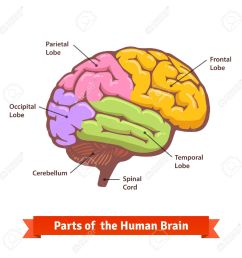 colored and labeled human brain diagram flat vector illustration stock vector 49850030 [ 1300 x 1300 Pixel ]