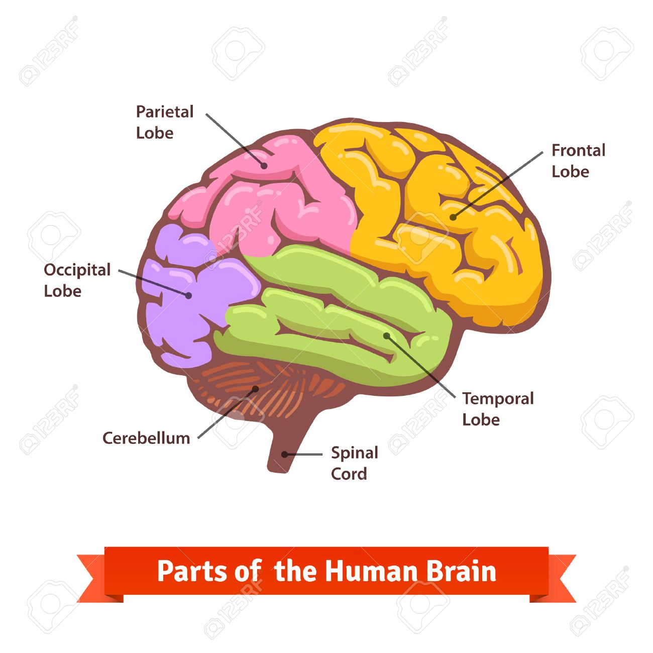 hight resolution of colored and labeled human brain diagram flat vector illustration stock vector 49850030