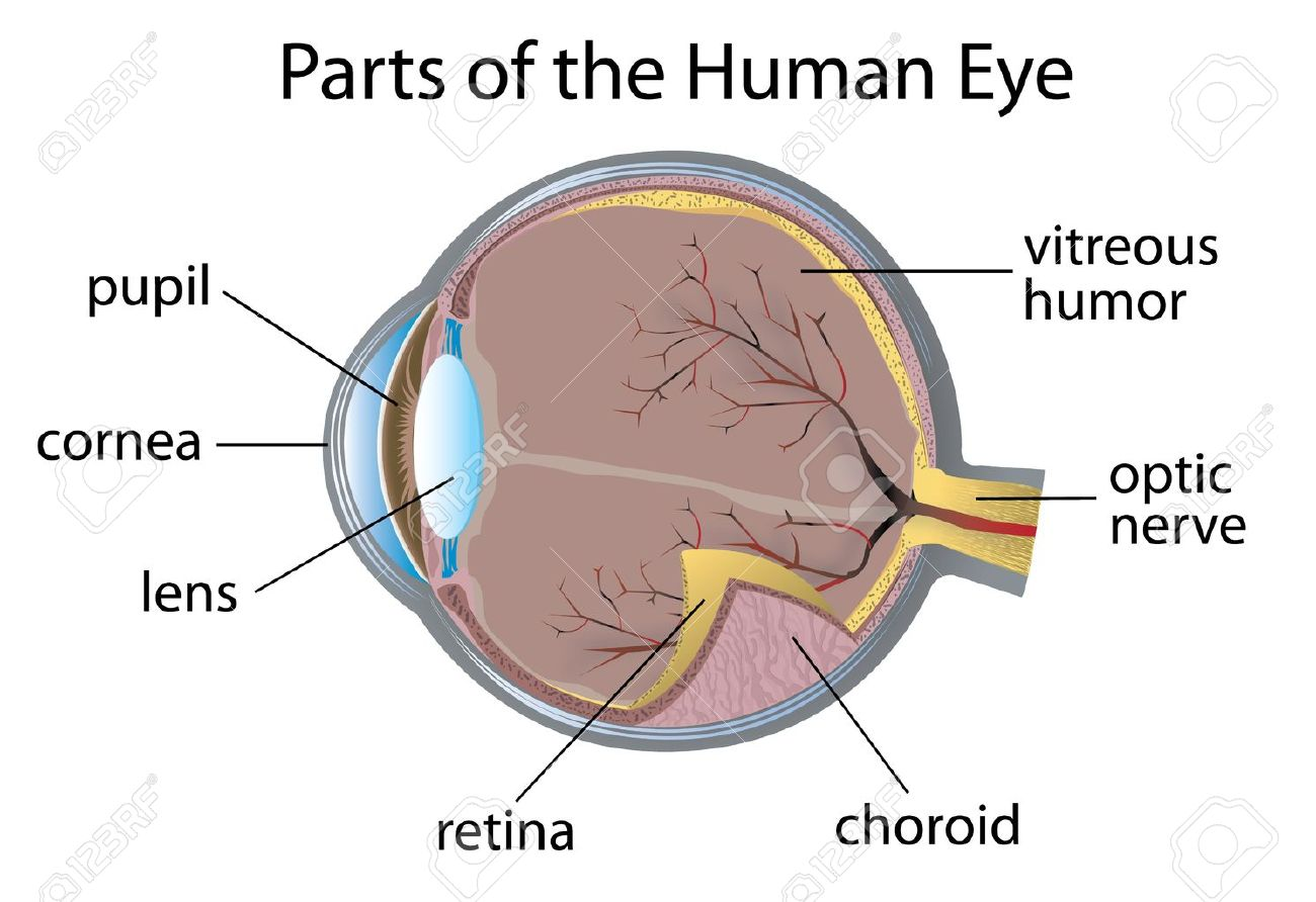 hight resolution of of parts of the human eye real human eye parts